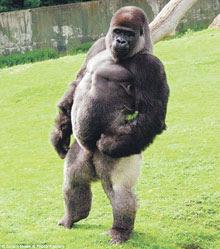 Gorila jantan berjalan seperti manusia
