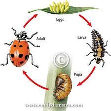 Coccinellidae Anatomy