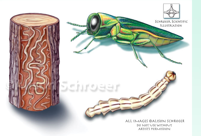 Insects Galore!: 2. Emerald Ash Borer ( Agrilus planipennis )