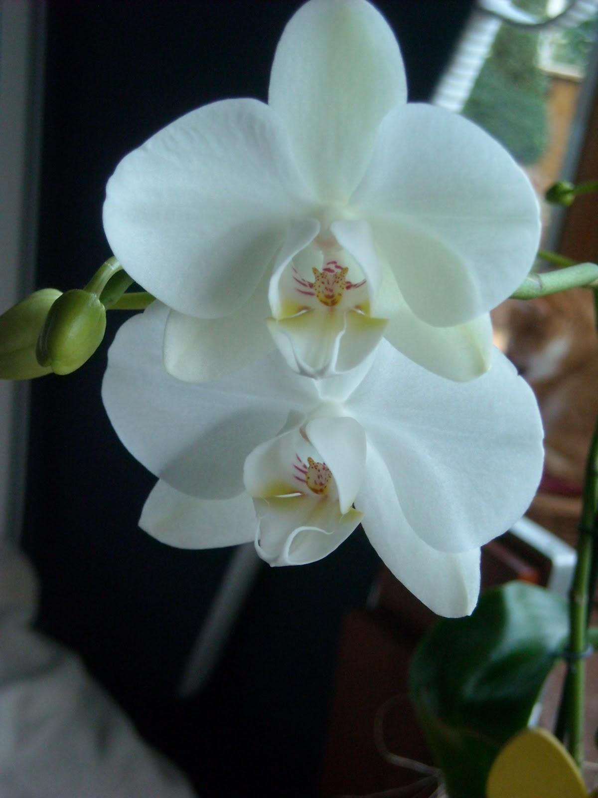 maxima s kostbarkeiten orchidee. Black Bedroom Furniture Sets. Home Design Ideas