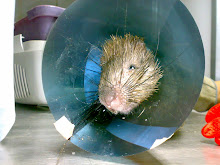 Porcupine with a collar...
