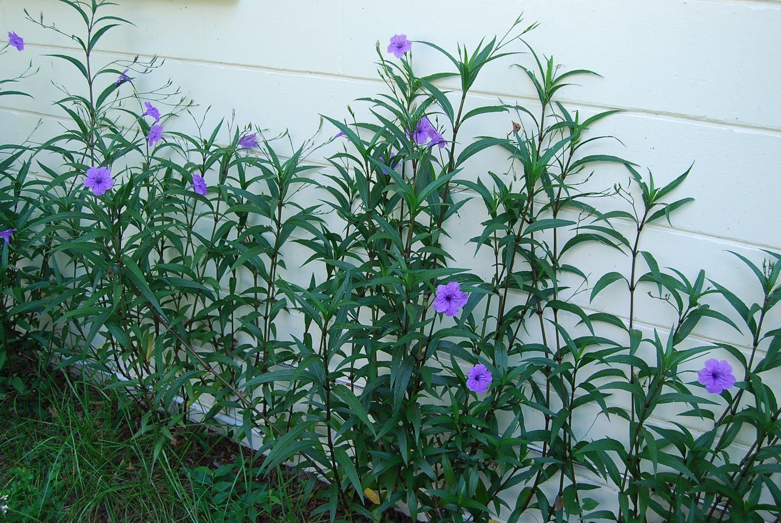 Florida Native Plant Society Blog: Mexican Petunia: A ...