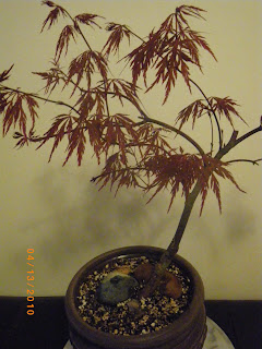 Acer Palmatum / Red Dragon bonsai