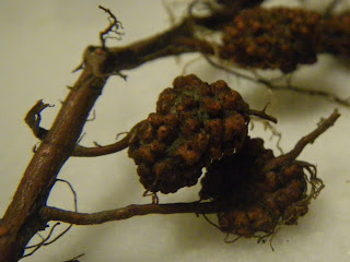 Root nodules produced by Frankia bacteria