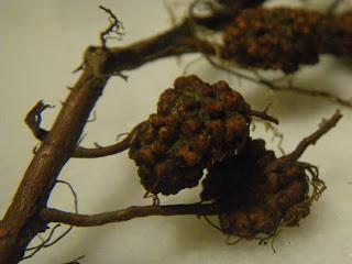 Root nodules produced by Frankia bacteria