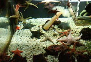 Starfish at Vancouver Aquarium