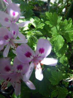 Scented Pelargonium / Geranium Citronella