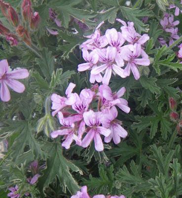 Scented Pelargonium / Geranium Lady Plymouth