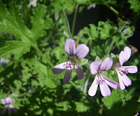 Scented Pelargonium / Geranium Attar of Roses flower