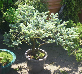 Minter-Gardens - bonsai tree
