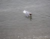 seagull eating crab