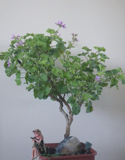 Pelargonium bonsai - Atomic Snowflake