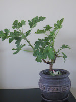 Pelargonium bonsai - Shrubland Rose