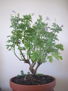 Flowering Pelargonium Capitatum Bonsai, Attar-of-Roses Variety