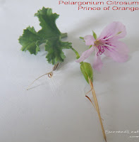 Pelargonium Citrosum, Prince of Orange