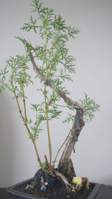 Scented Pelargonium Skeleton Rose bonsai on driftwood and ocean rock