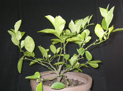 Dwarf lemon tree, fall 2010