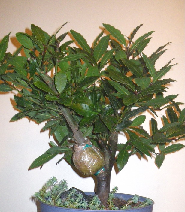 Bay Laurel Tree with air layered branch
