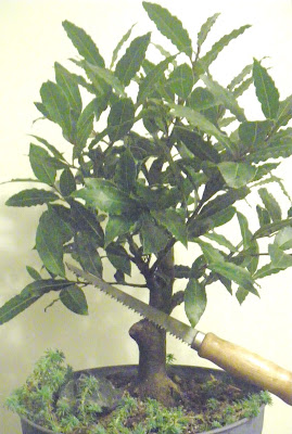 Bay Laurel without air layered branch