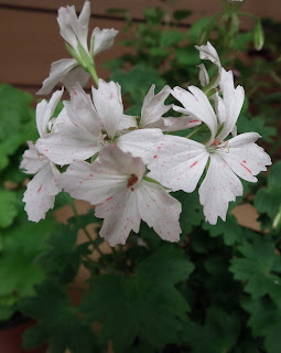 Geraniums and pelargoniums Flowers on display at Canadian and Geranium Society