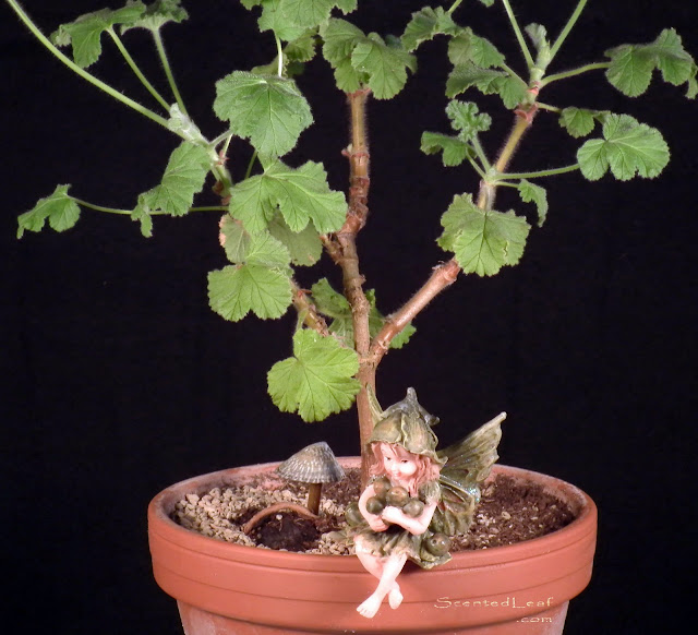 Miniature living pelargonium pre-bonsai Snowflake