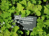 Scented Apple Geranium / Pelargonium Odoratissimum at VanDusen Garden