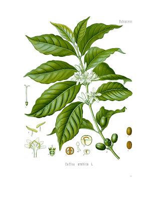Diagram of Coffee Arabica