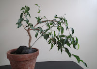 Ficus Wiandi windsept bonsai in training