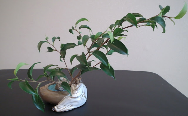 Small Ficus wiandi  plants in Chinese mudman ceramic pot