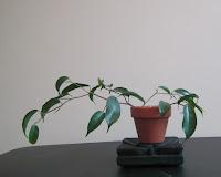 Ficus wiandi cuttings in terrapotta pot and perlite