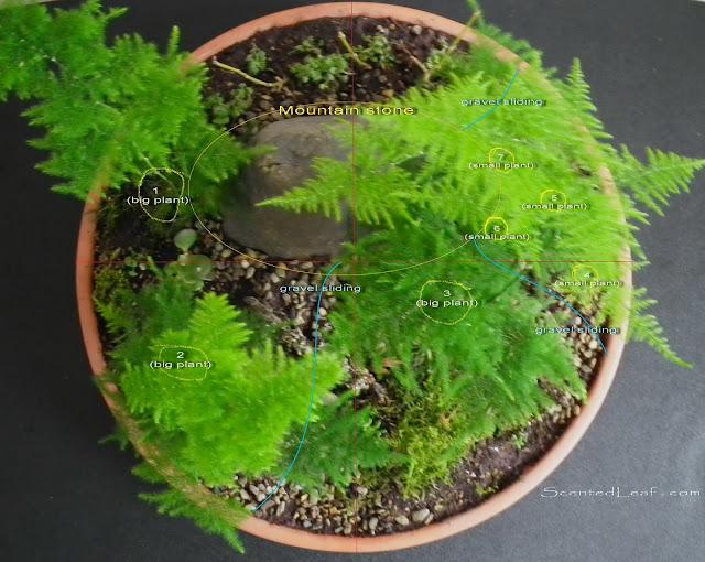 Saikei / miniature garden with seven asparagus fern plants - schema