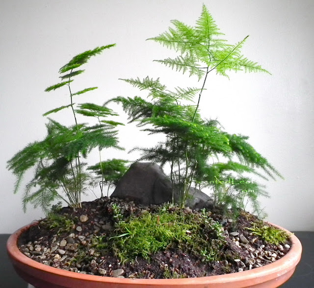 Saikei / miniature garden with seven asparagus fern plants and mountain rock