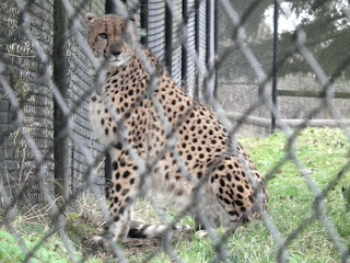 Greater Vancouver Zoo - Cheetah