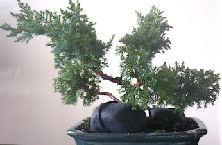 Juniperus Chinensis Daub's Frosted bonsai in training