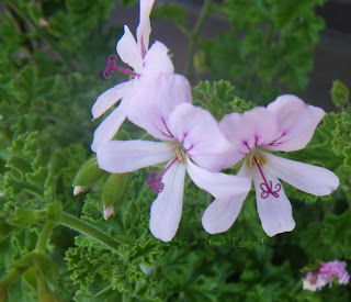Pelargonium Citrosum Prince of Orange flowers