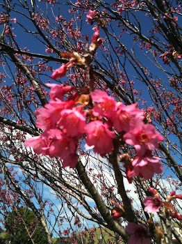 Cherry Blossoms in Hawaii!!!