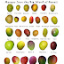 Mango Wallpapers: Mangoes Wallpapers for You