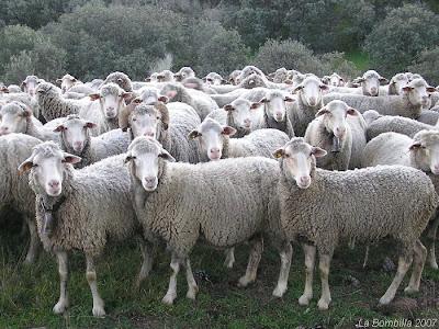 El topic del conflicto con Argentina - Página 5 Manada+ovejas+2