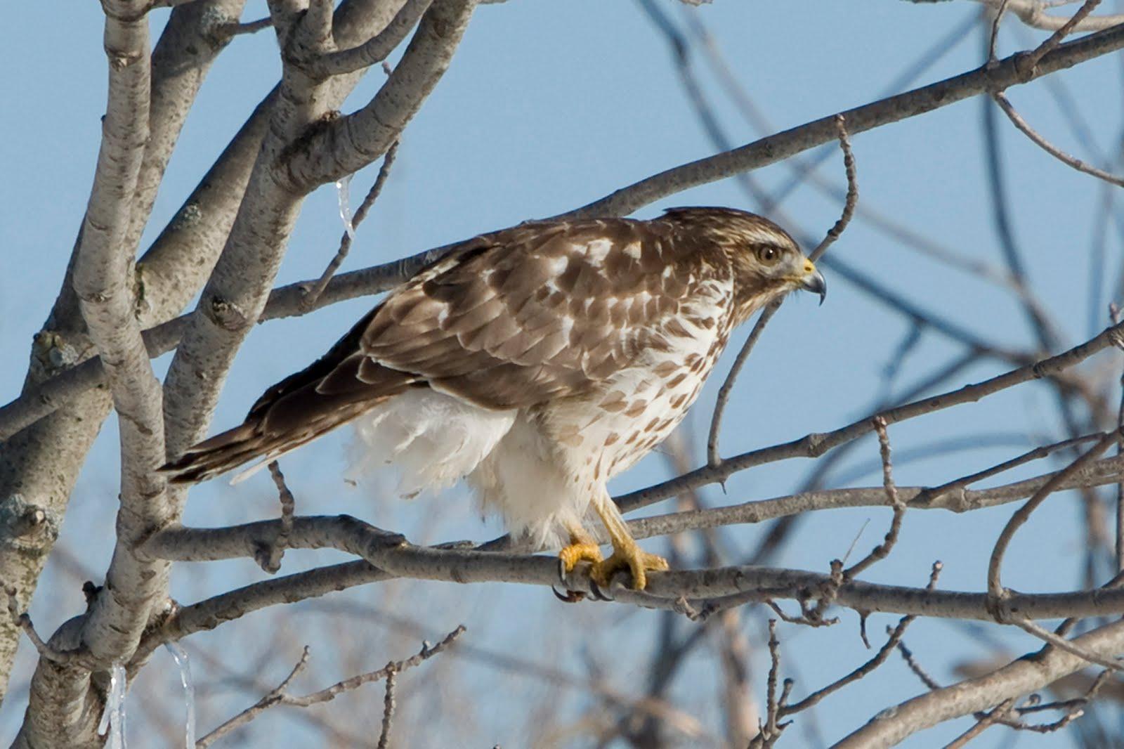 Recent Sightings: Juvenile Red-shouldered Hawk I.D. 101 ...