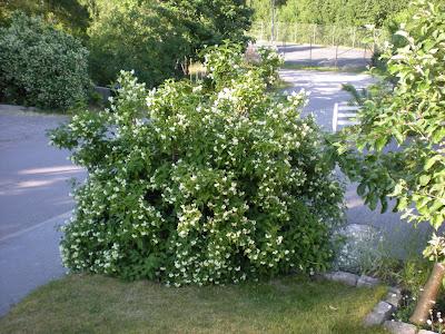 buskar som insynsskydd