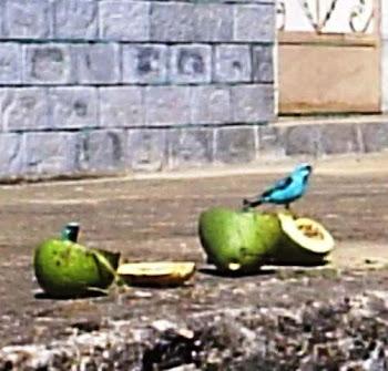 Azulinha