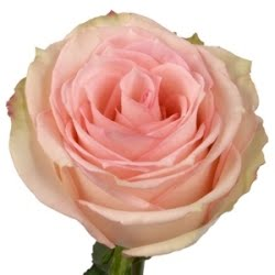 the esperance rose yellow roses bloomin