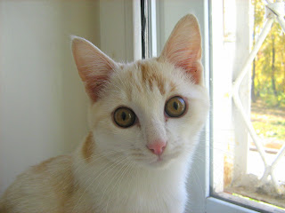 White-Orange Lil' Kitten: Part One