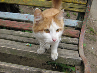 Benched Ginger-White Cat