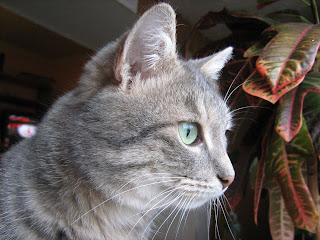 """Adult Smoky Kitten in """"Catofamily: Years Later"""""""
