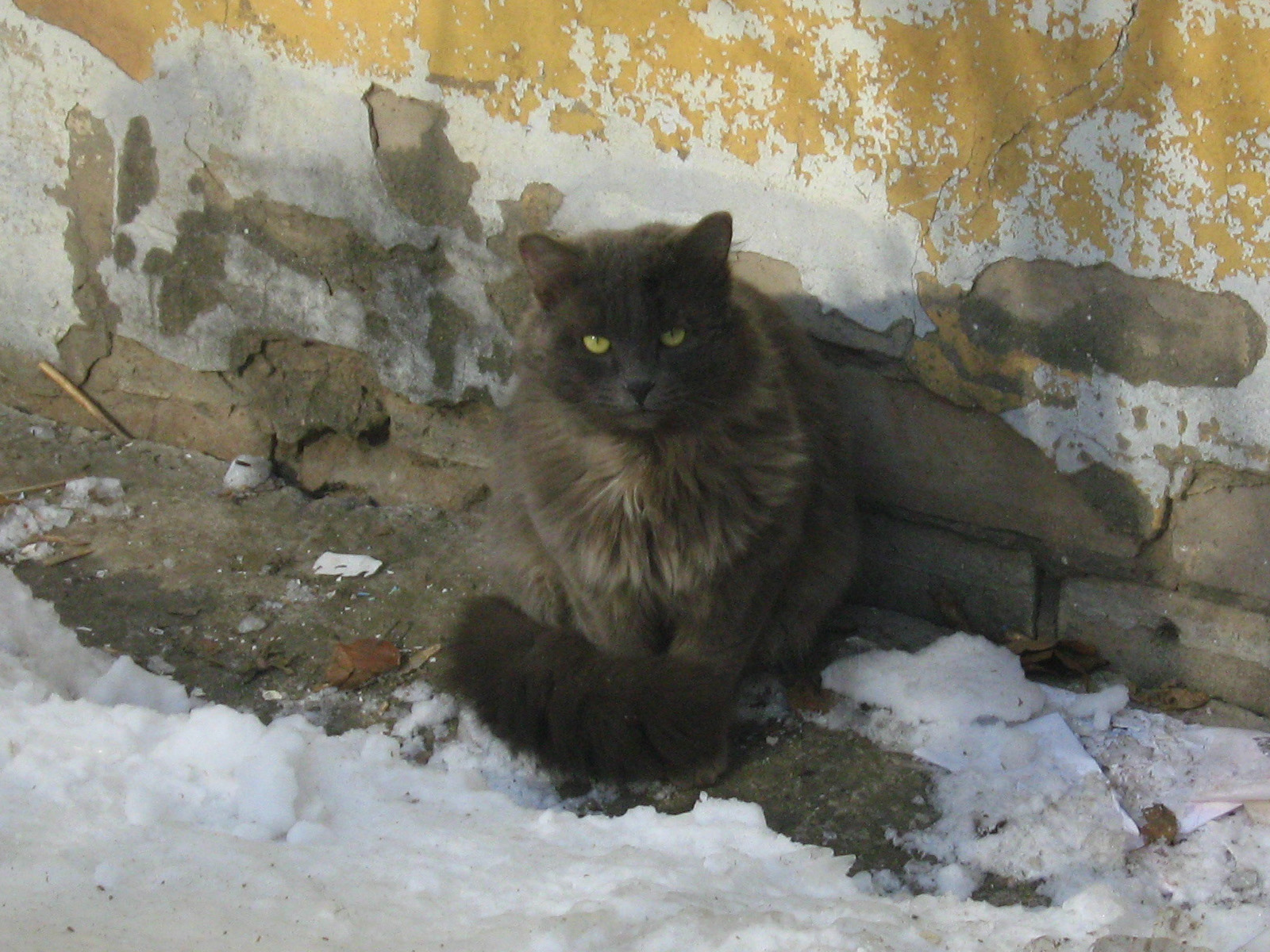 Smokey White Arrogant Cat Russian Cats Pictures
