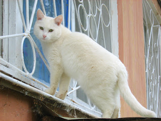 Cute Domestic White Cat