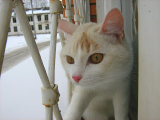 Red-Nosed Ginger-White Young Cat