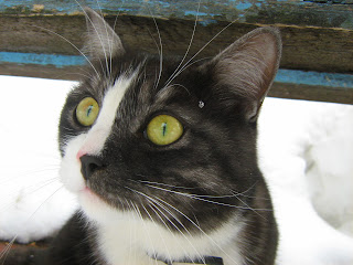 Lime-Eyed Tabby-White Cat