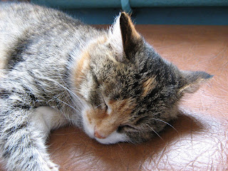 Sleeping Tortoiseshell Kitty